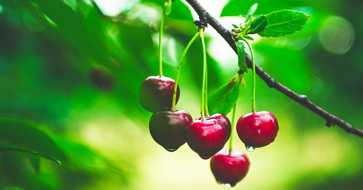 Выращивание вишни Булатниковская - фото, описание и уход