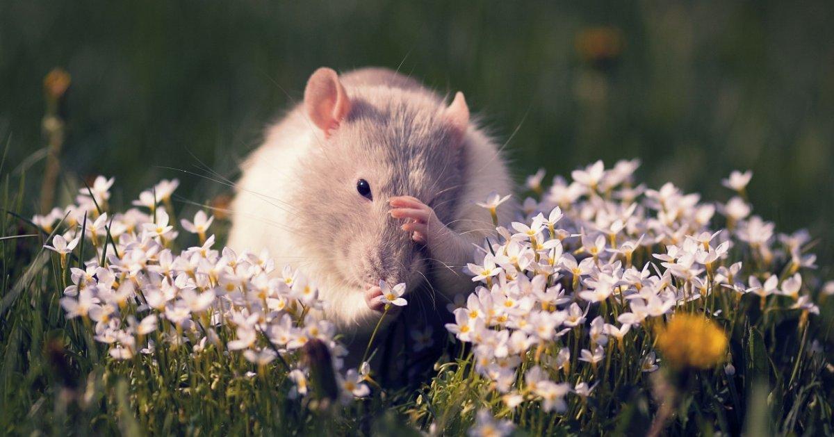 Мыши на грядках как избавиться