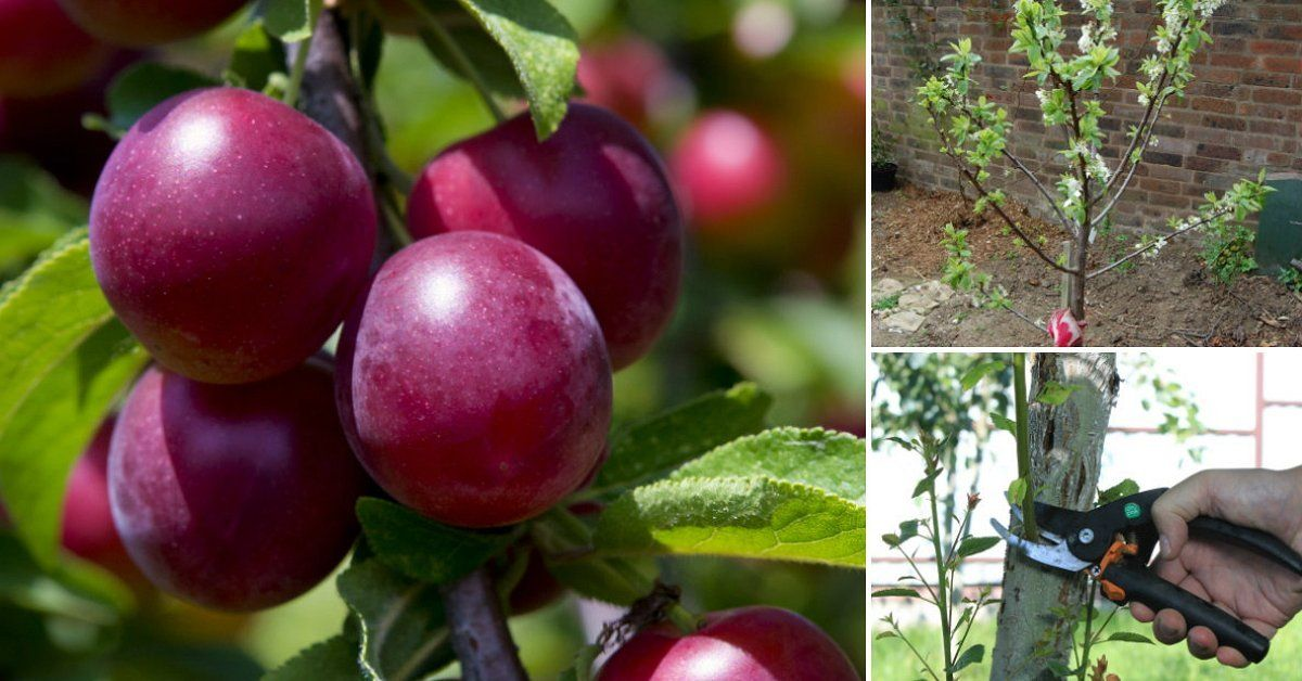 Интенсивное выращивание сливы 78
