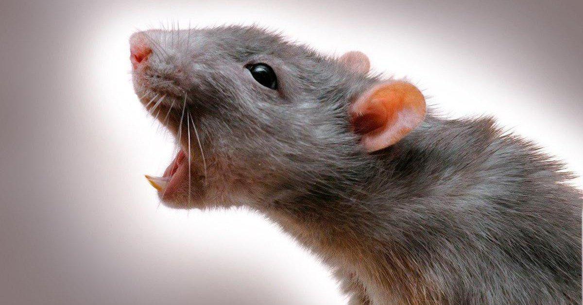 Мышиный помет чем опасен