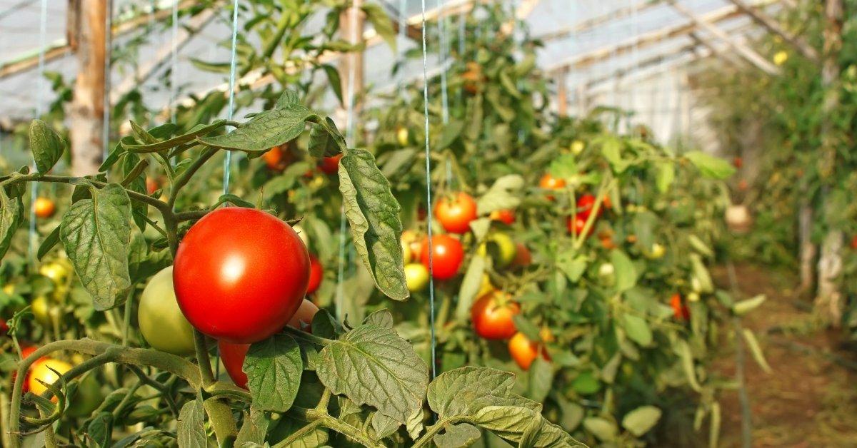 Как правильно подвязывают помидоры