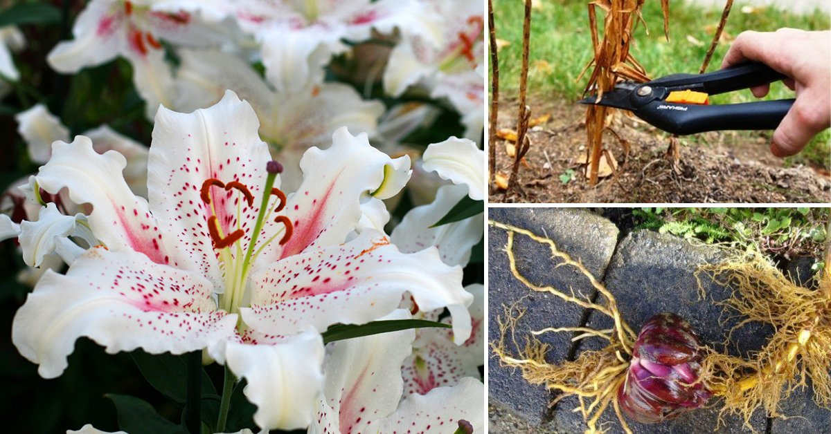 Надо ли выкапывать лилии осенью