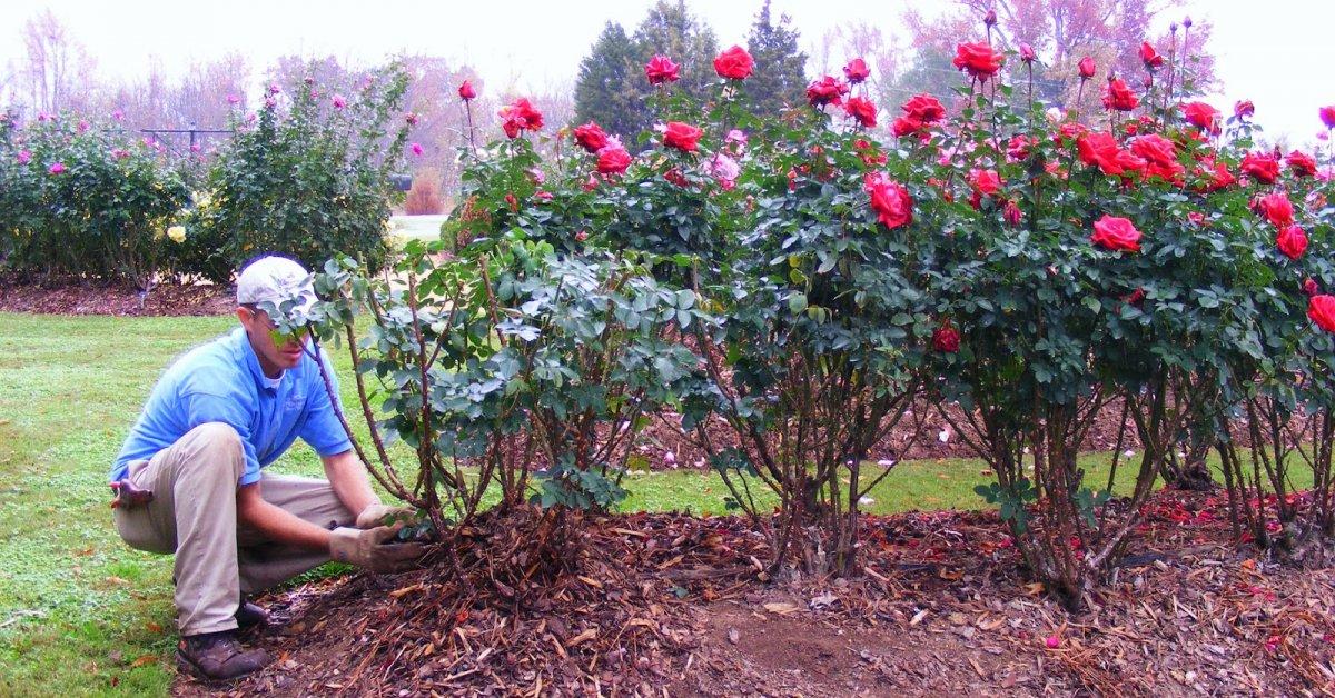 Как укрыть штамбовую розу на зиму