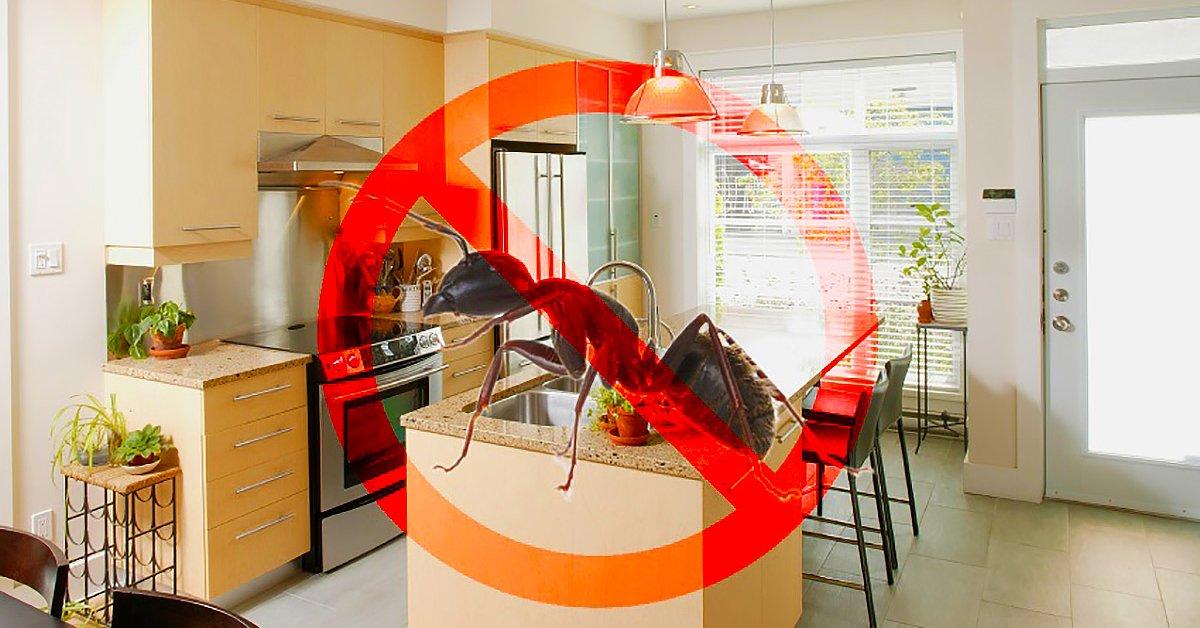 Откуда берутся рыжие домашние муравьи в квартире