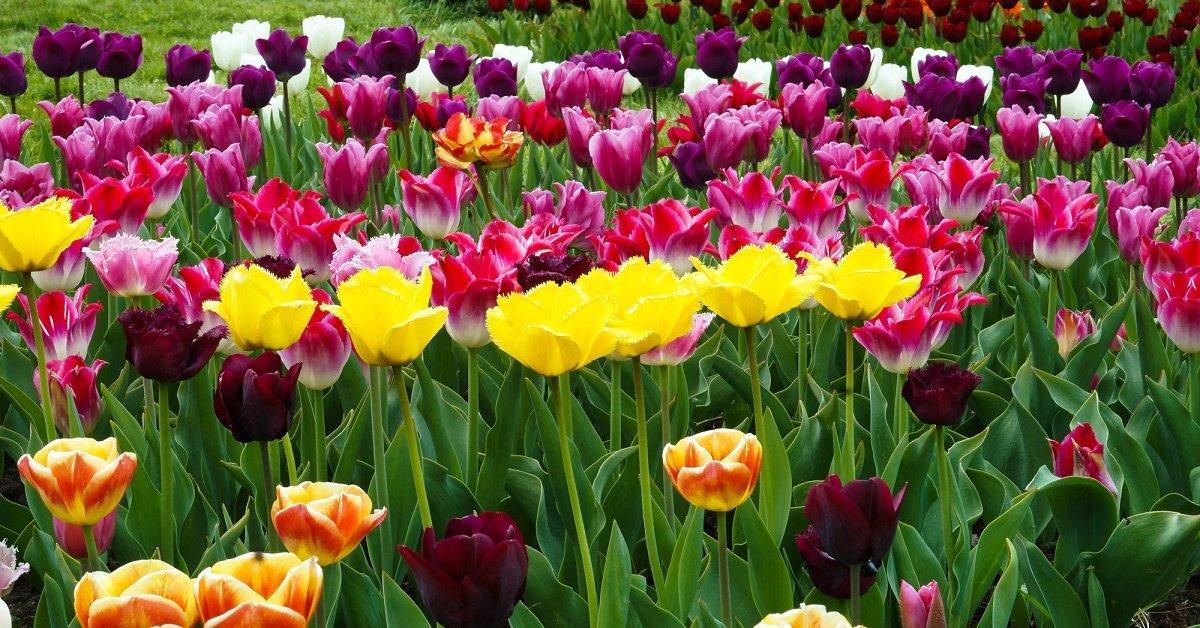 Почему не цветут тюльпаны, одни листья