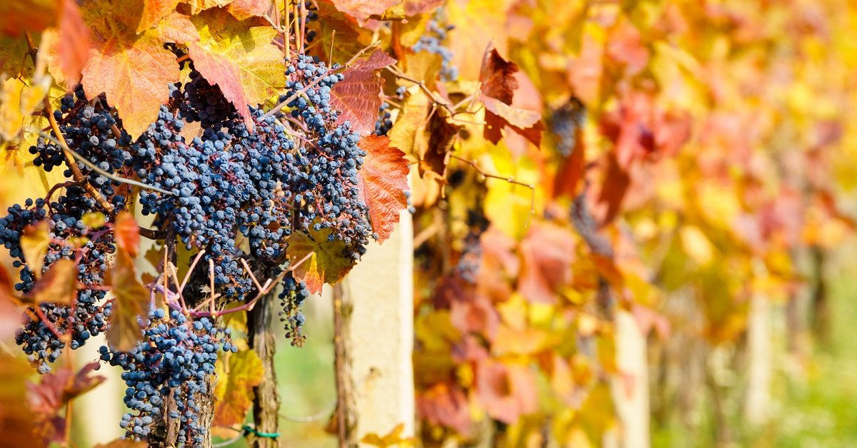 Уход за виноградом осенью подготовка к зиме