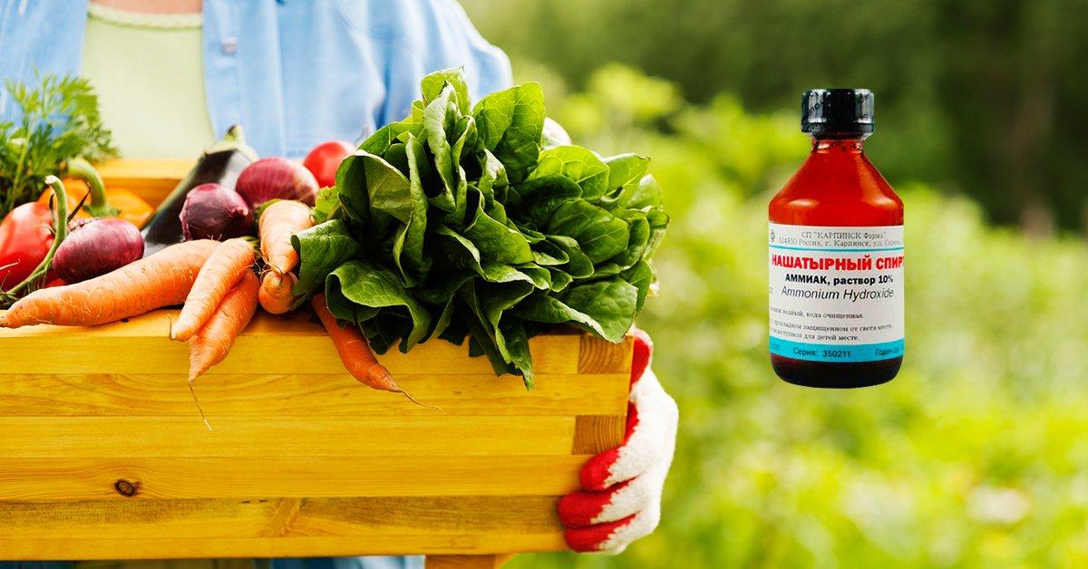Применение нашатырного спирта для лука и чеснока на огороде
