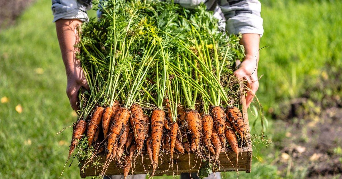 Агротехника моркови на приусадебном участке