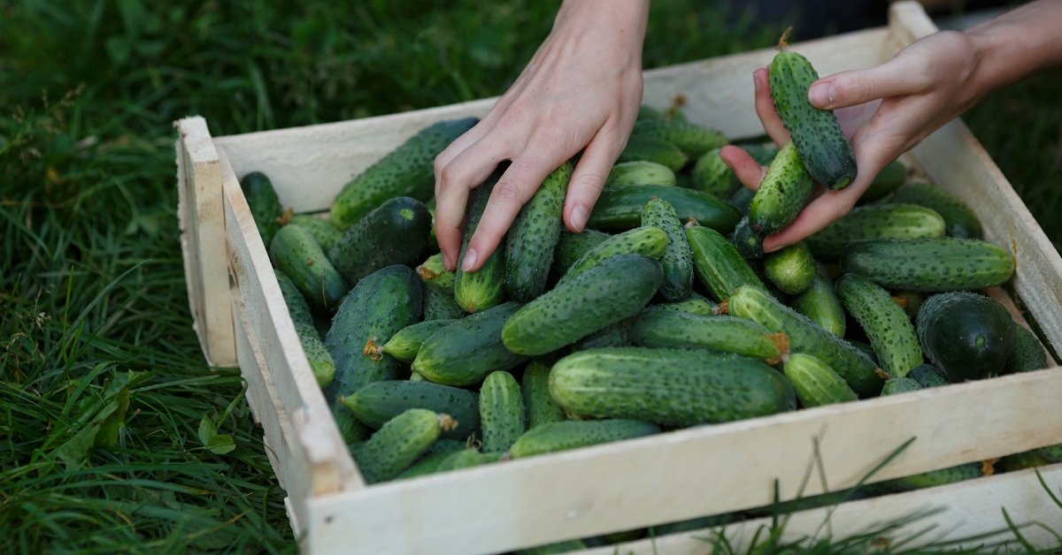 Как добиться хорошего урожая огурцов
