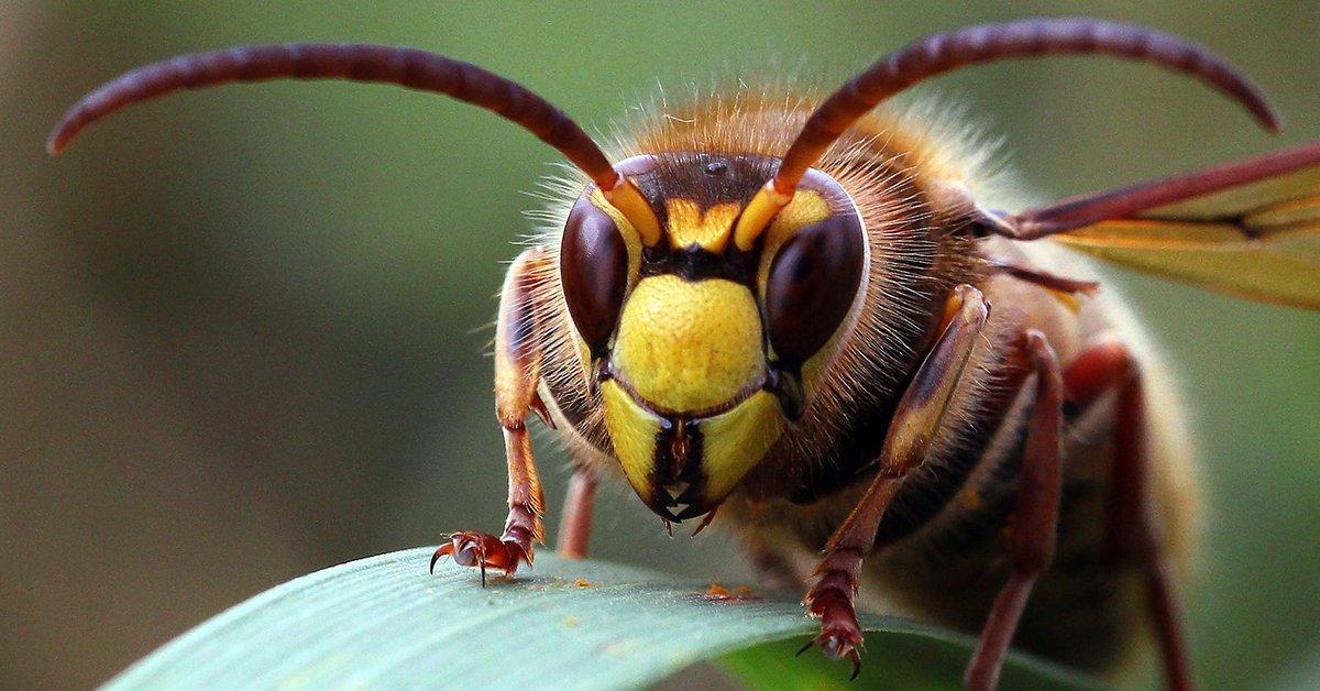Шершни и осы отличие