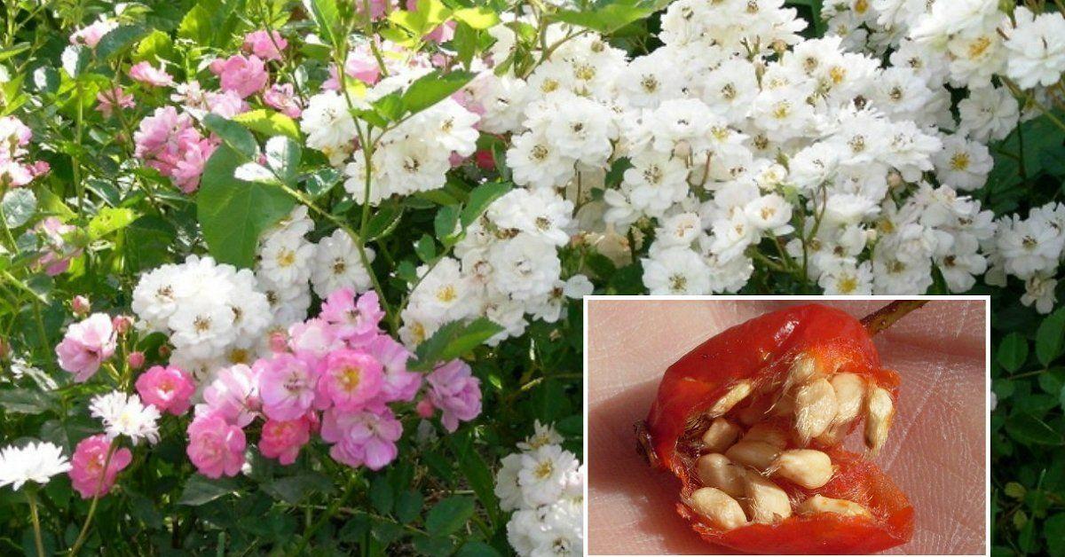Как размножить розы семенами