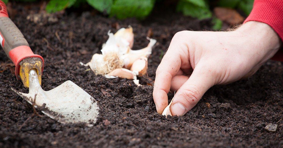 Посадка чеснока осенью под зиму: когда и как посадить