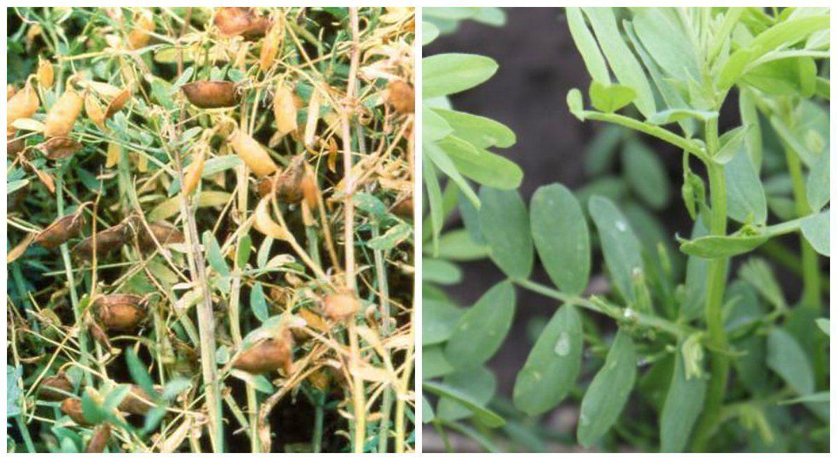 Выращивание чечевицы в сибири 6676