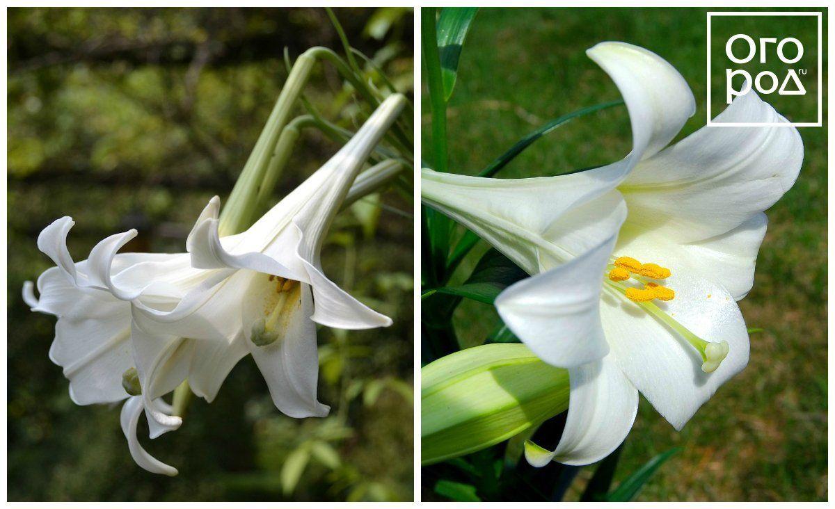 Длинноцветковые лилии