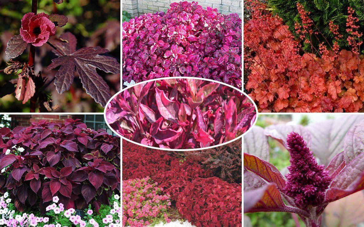 Цветок с цветными листьями название