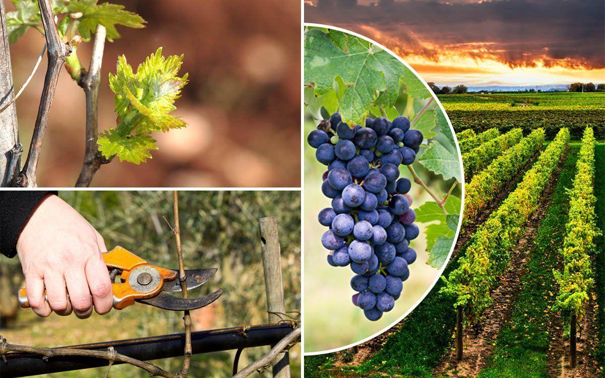 : Обрезка винограда