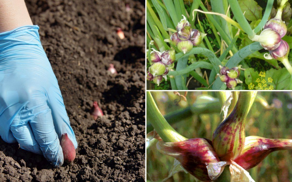 Выращивание лука анзур 94