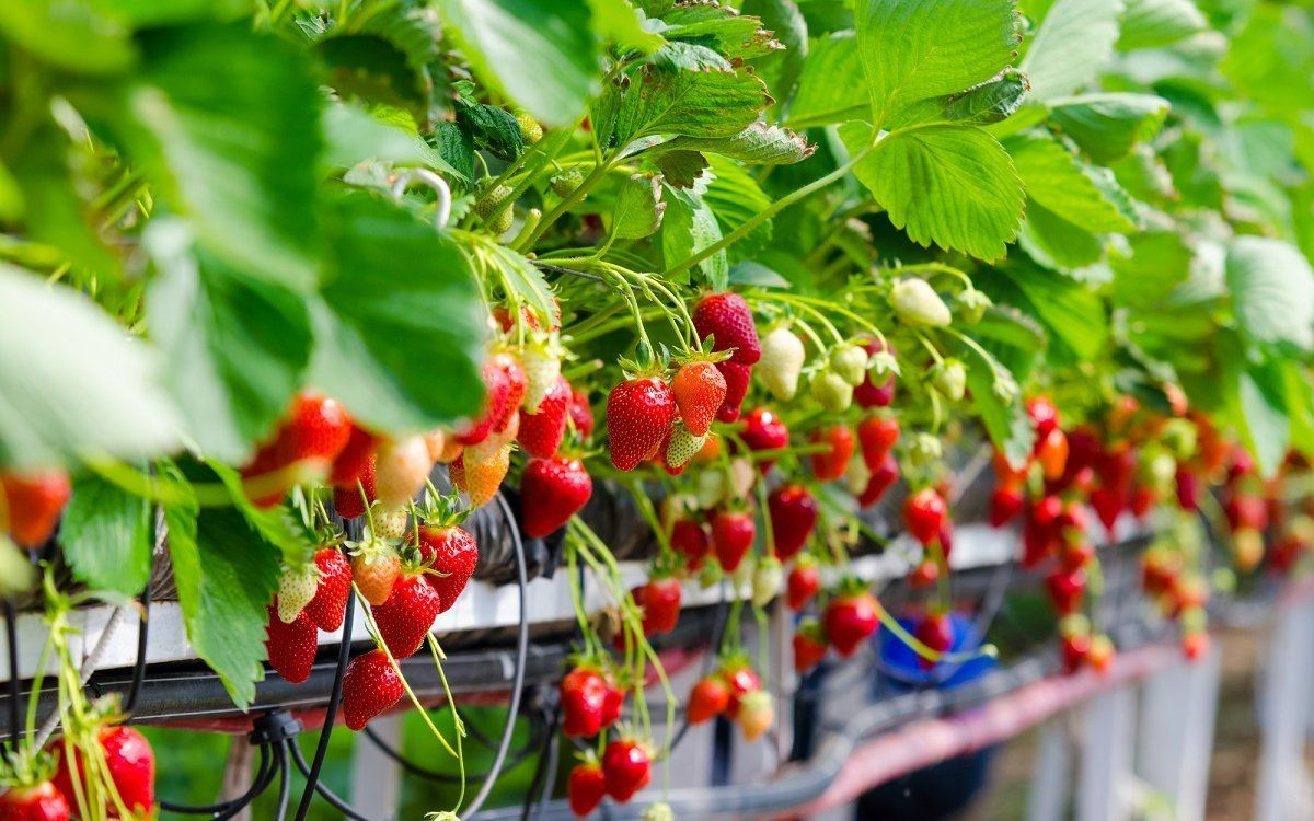 : Strawberries being grown commercially on table top irrigation system.