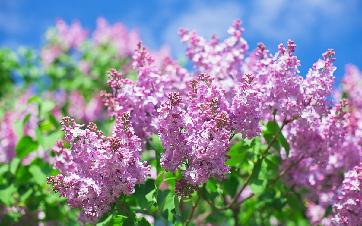 : Bunch of violet lilac flower in sunny spring day in front of blue sky
