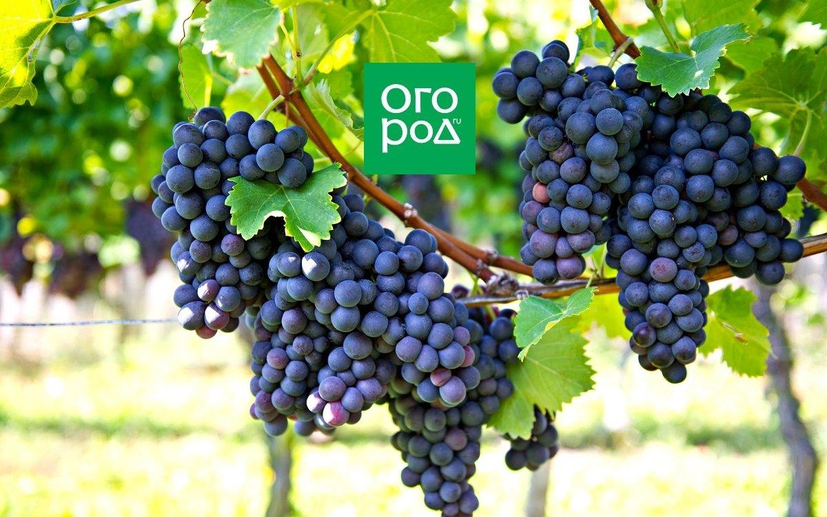 : Синий виноград на кусте