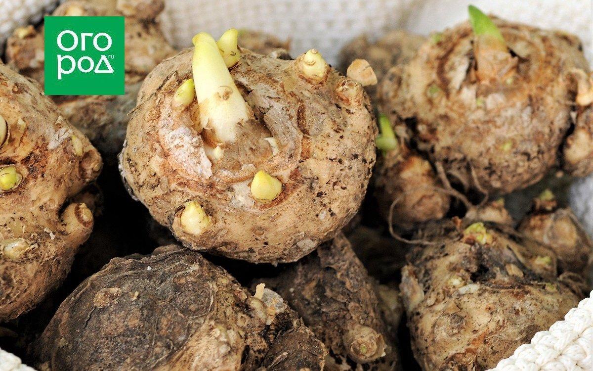 : проросшие луковицы