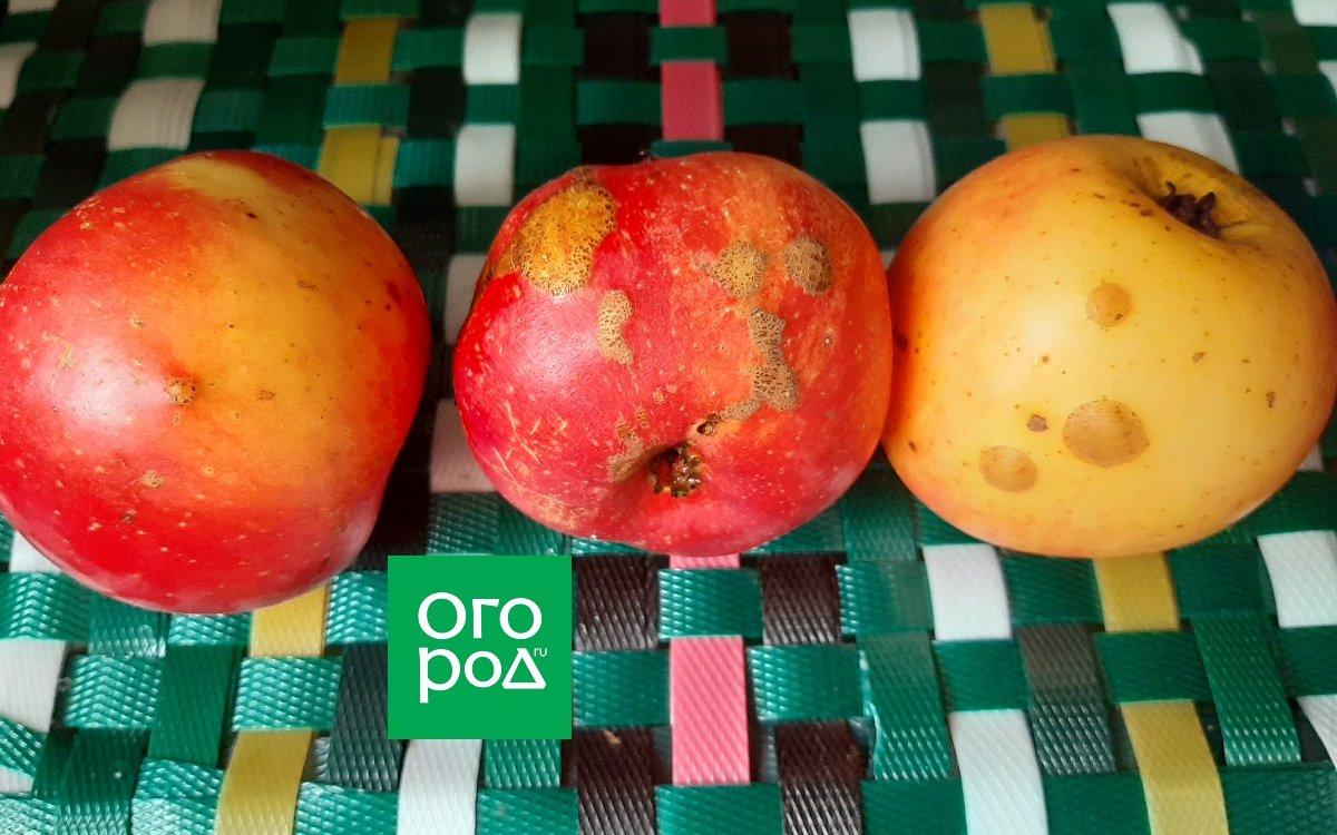 : Наросты на яблоках