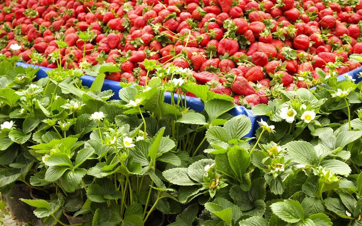 : Клубника фриго как выращивать