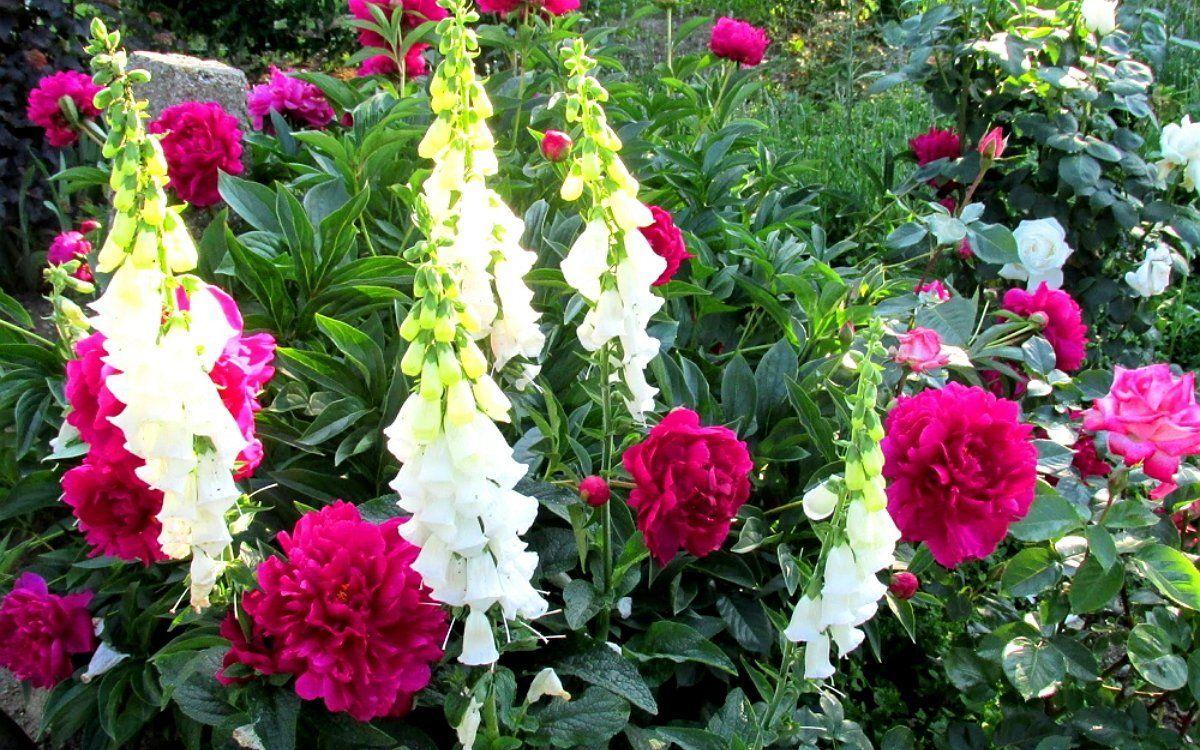 Цветущие в июне цветы