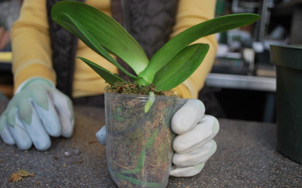 : Почему не цветет орхидея