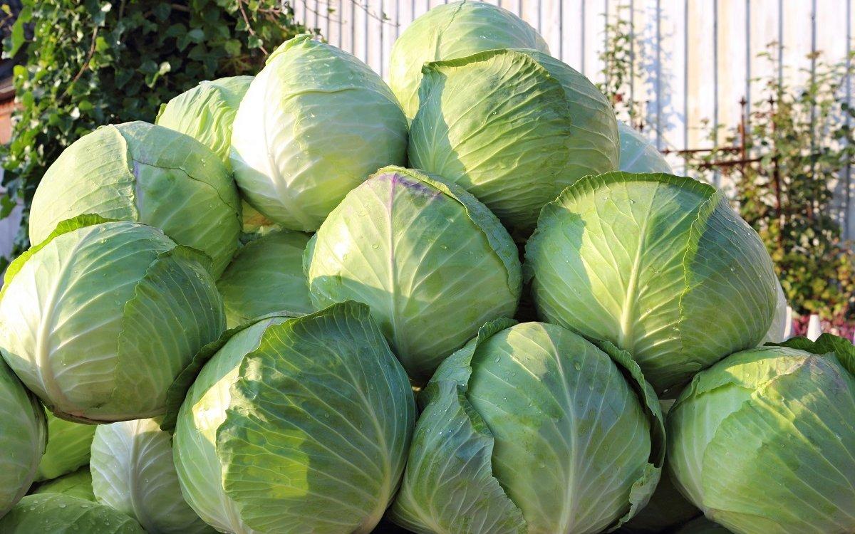 : Хранение капусты