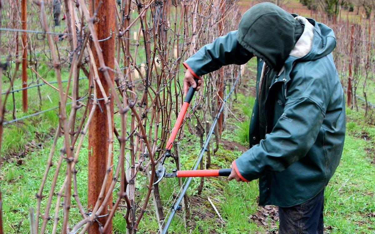как обрезать виноград новичку