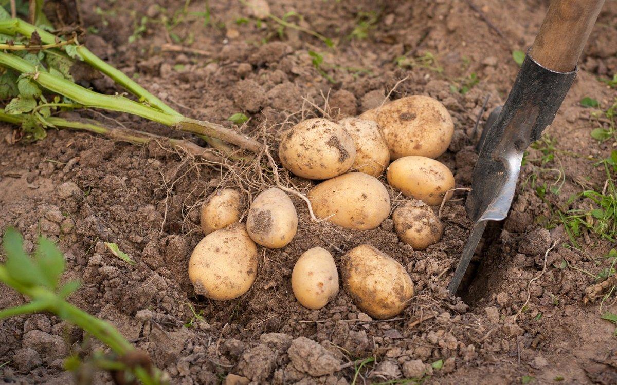 : Когда копать картофель