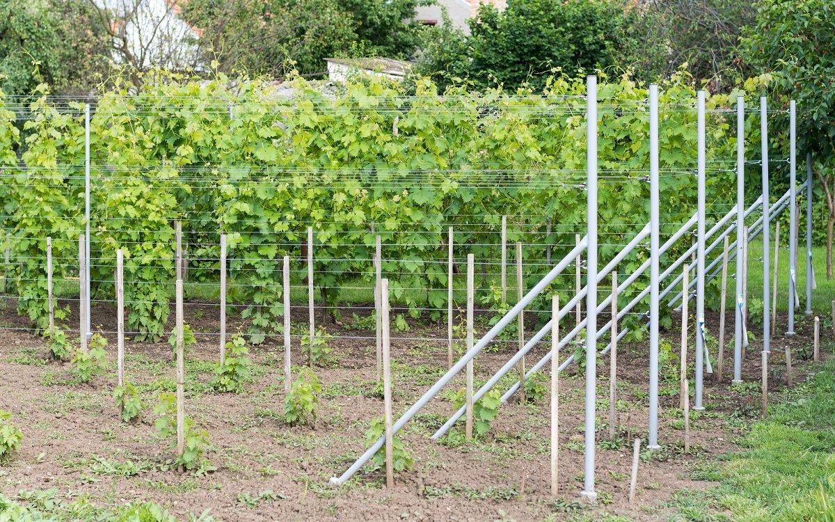: Посадка винограда весной