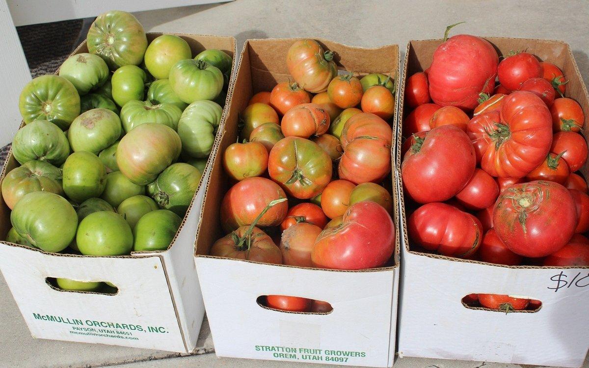 : Дозревание зеленых помидоров