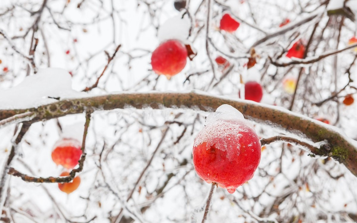 : Яблоки зимних сортов