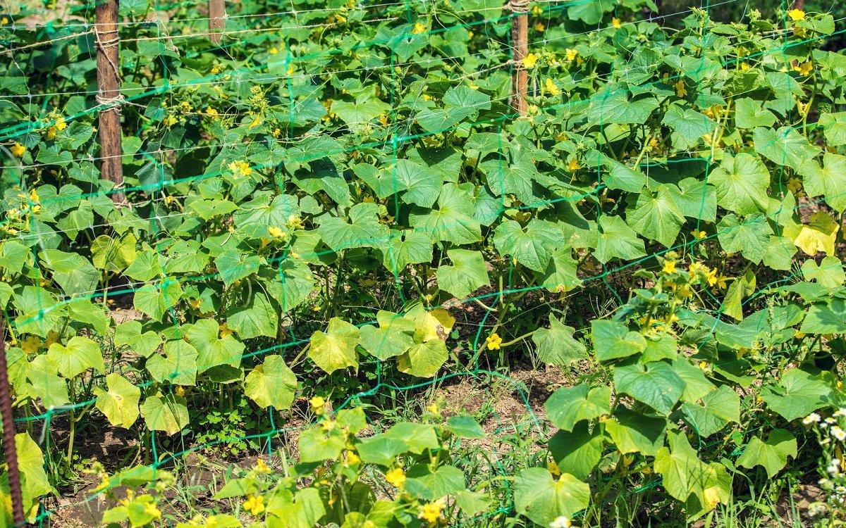 : Почему у огурцов желтеют и сохнут листья