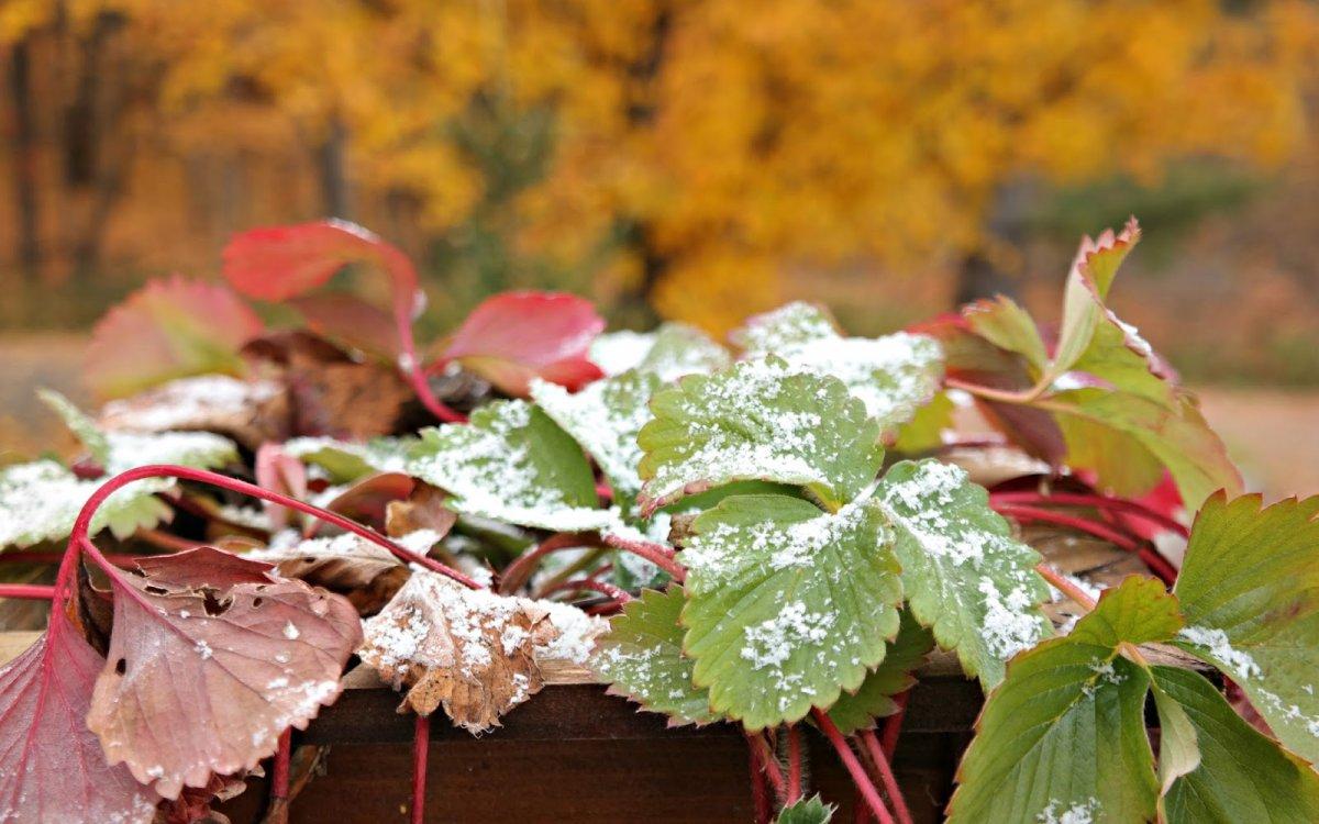: Подготовка клубники к зиме