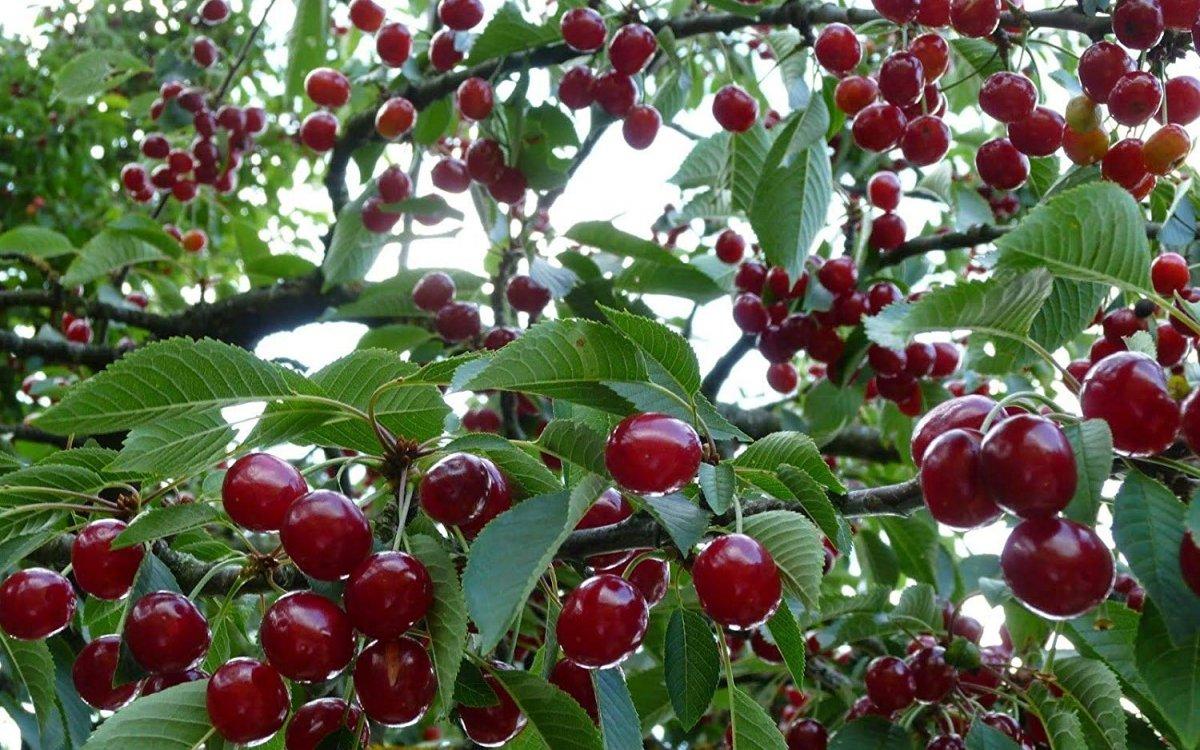 : Самые сладкие сорта вишни