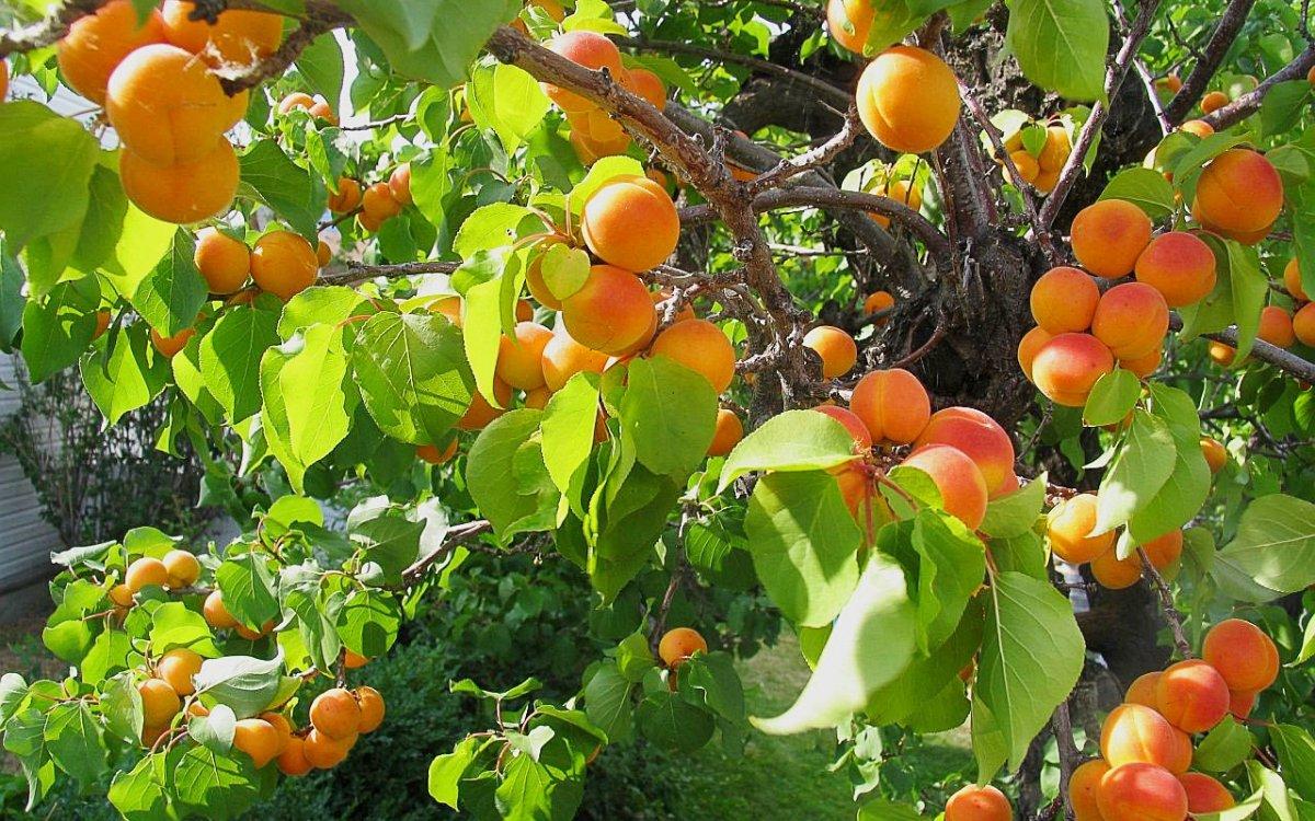 : Зимостойкие сорта абрикосов