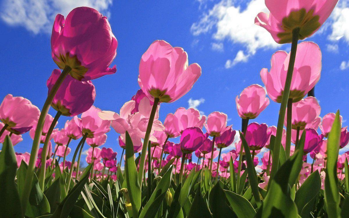 Когда пересаживают тюльпаны и нарциссы