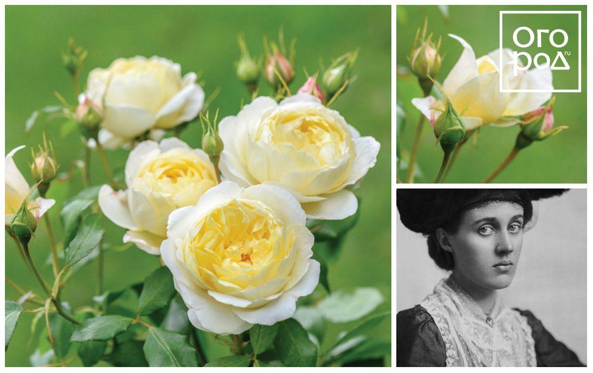 David Ausrin rose Vanessa Bell