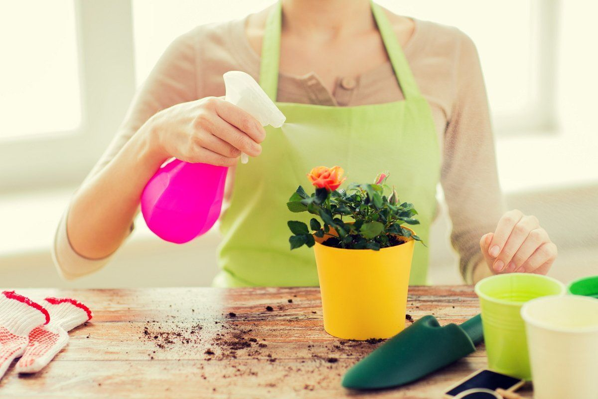 Обработка домашней розы