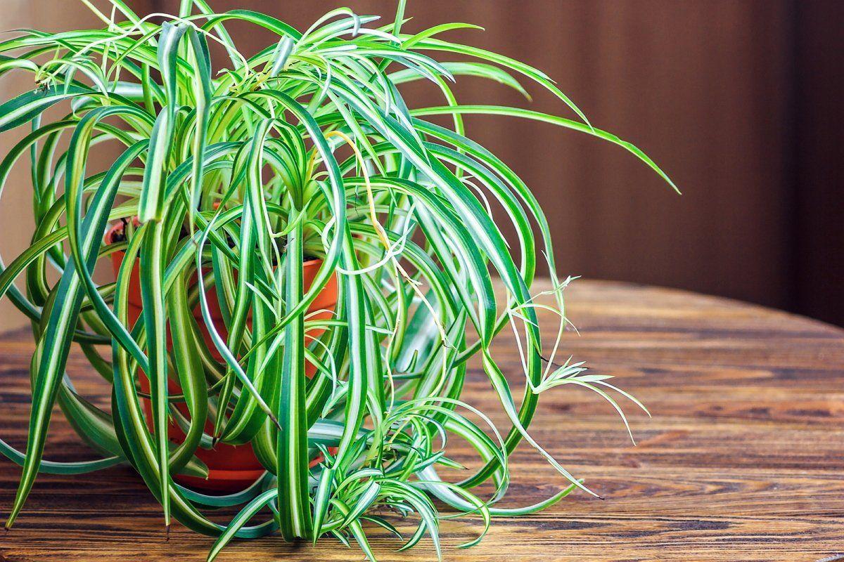 Хлорофитум, цветок, комнатное растение