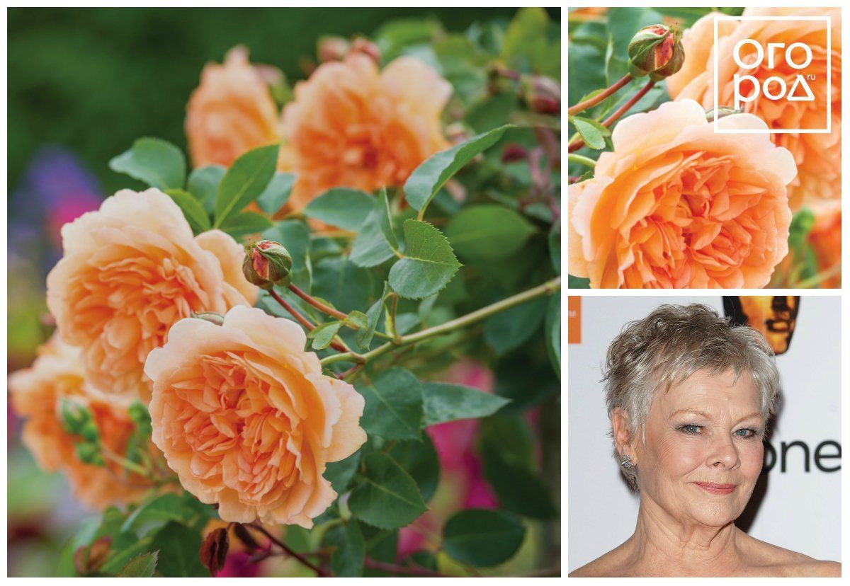 David Ausrin rose Dame Judi Dench