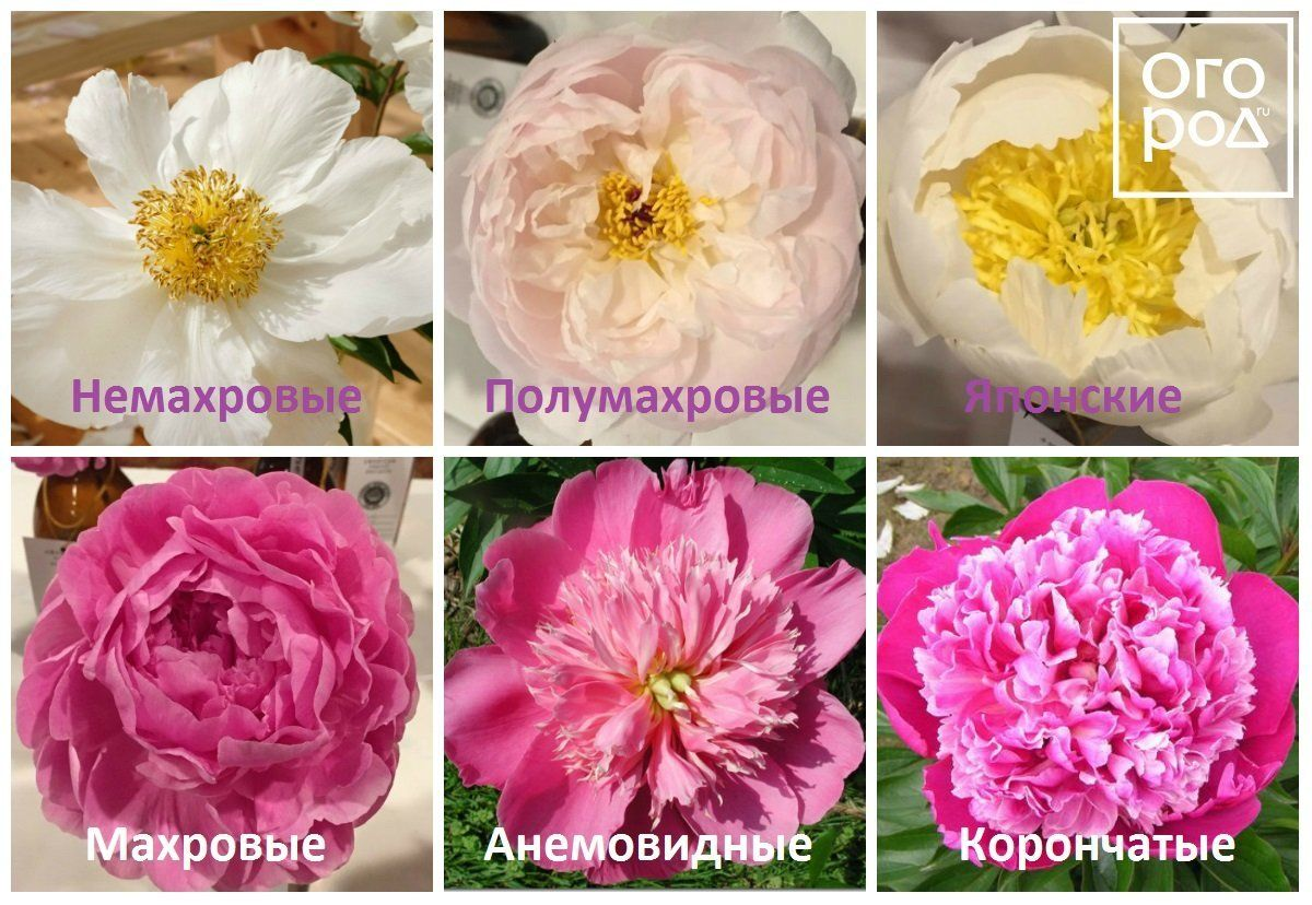 Формы цветка пионов