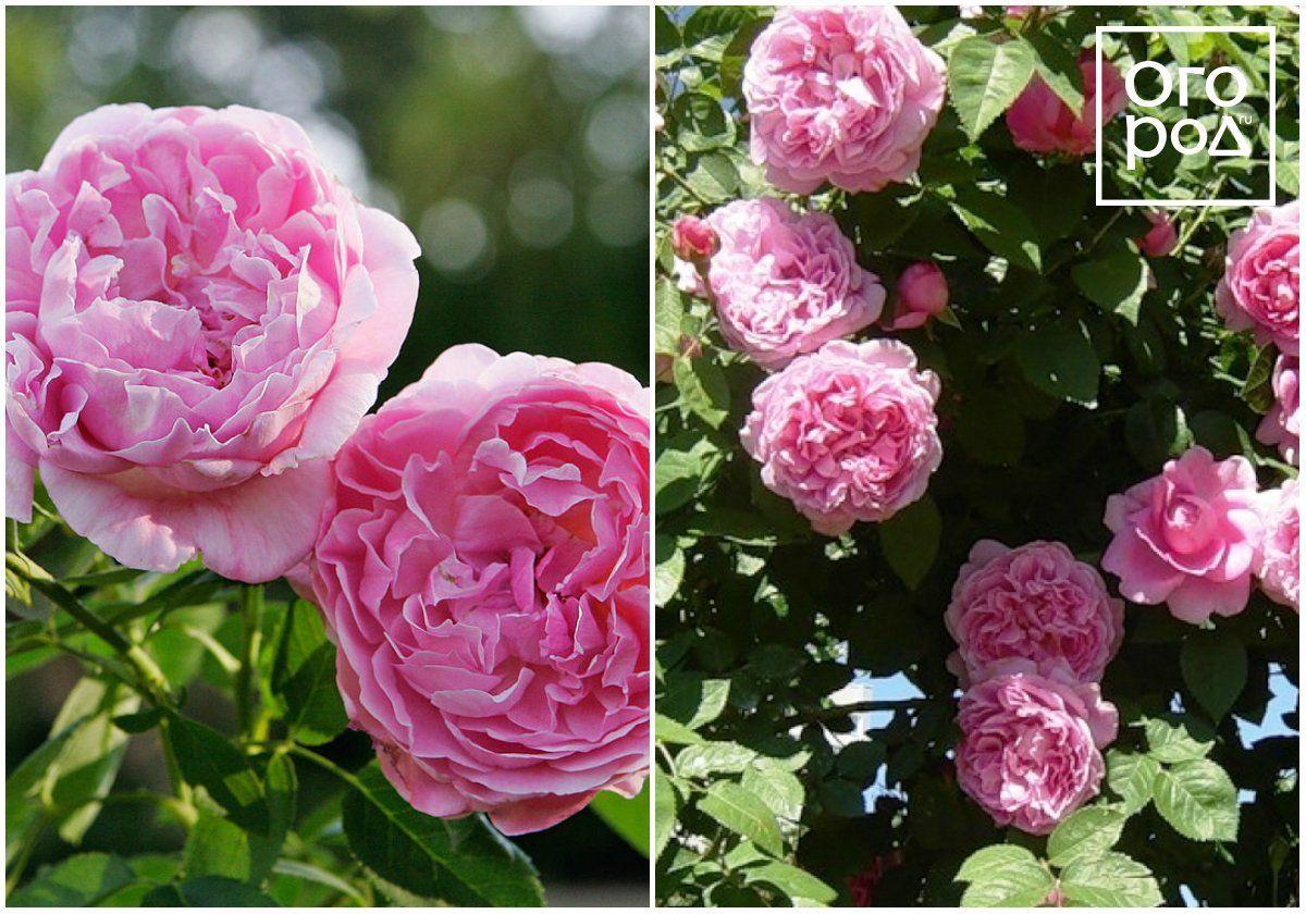 Мэри Роуз, Mary Rose