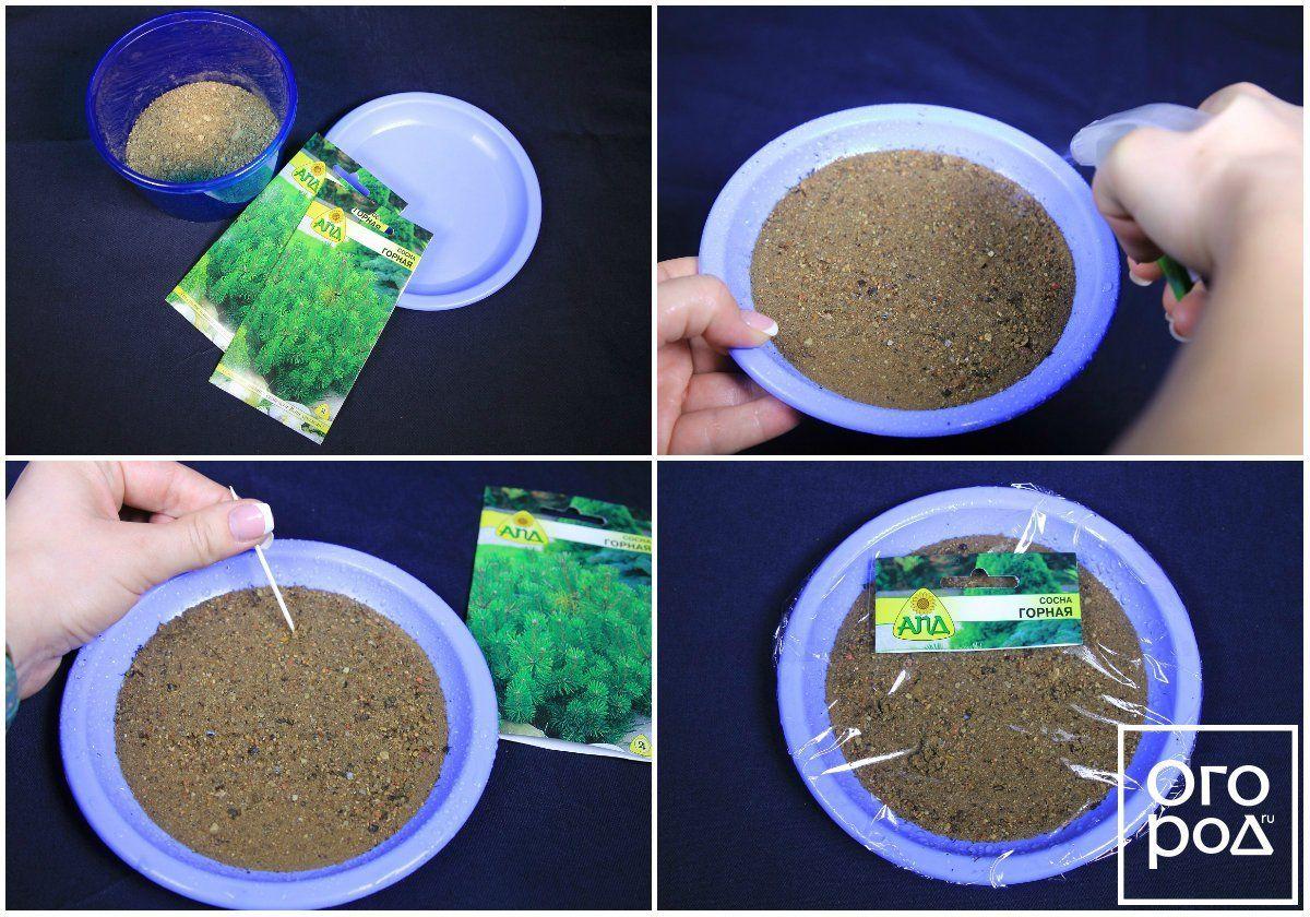 Подготовка семян сосны к посеву