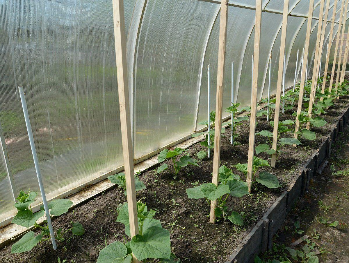Посадка огурцов в парнике, как и когда сажать овощи 2