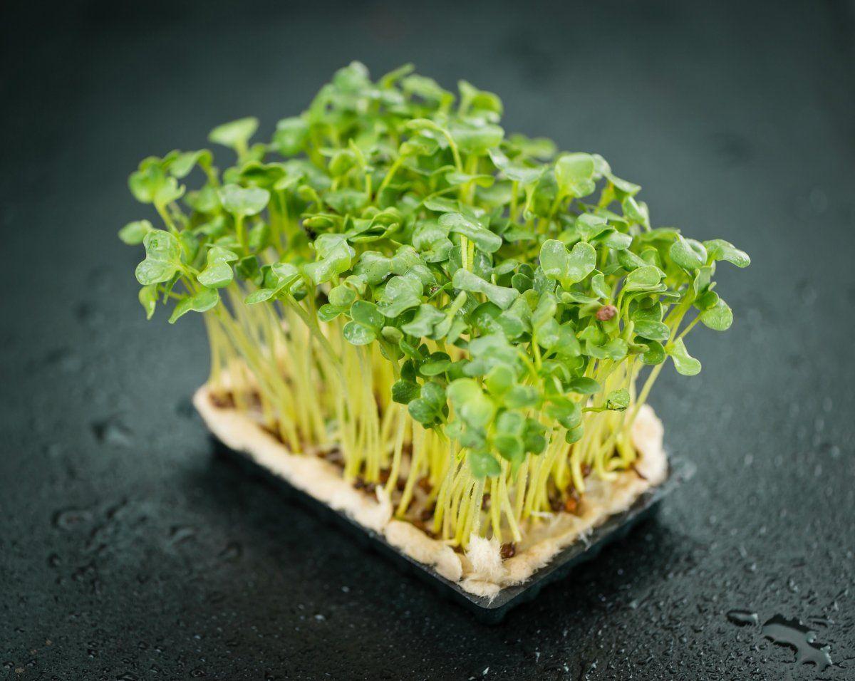Салат посеять листовой 84