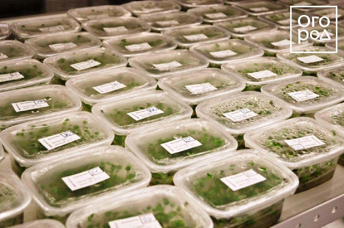 Контейнеры с клонированными растениями, готовые к продаже
